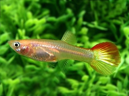 Flame guppy females