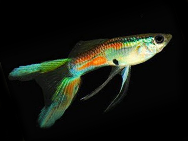 Calico Double Sword guppy males