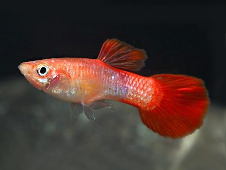 Coral Tailguppy males