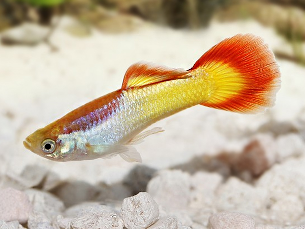 Flame guppy males