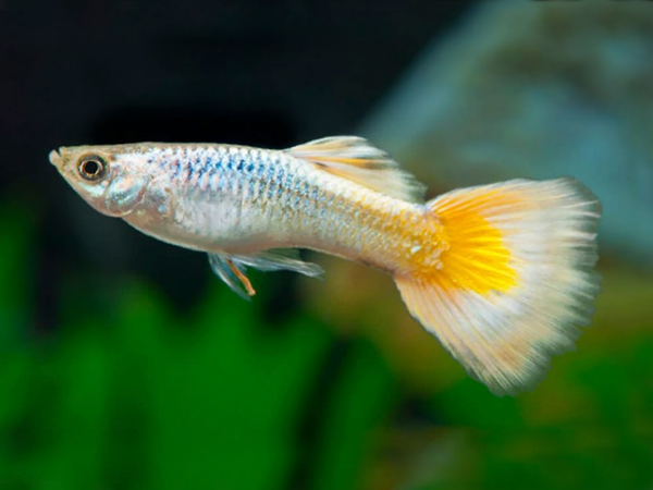 Yellow German guppy males