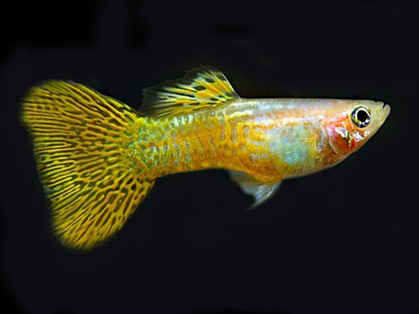 Golden Cobra guppy males