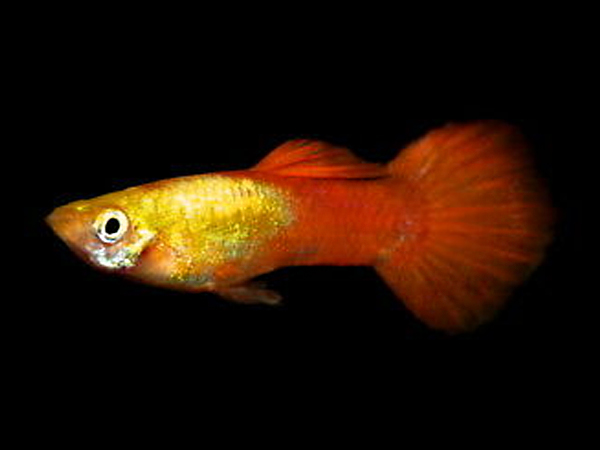 Golden Head Red Tail guppy males