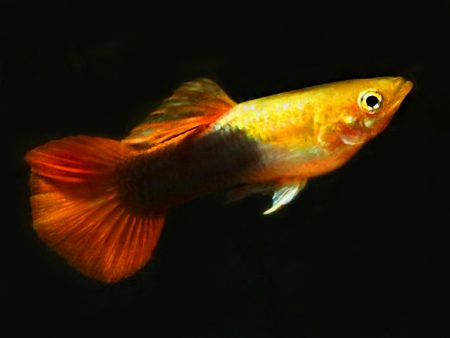 Golden Tuxedo Red Tail guppy males
