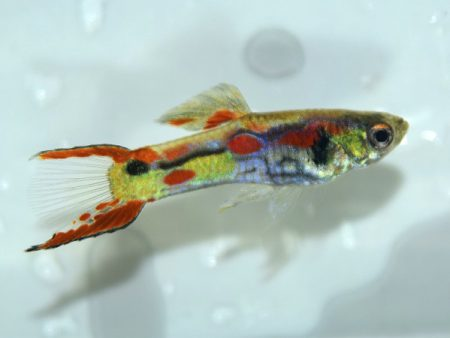 Multicolour Snakeskin Belly Dwarf Guppy