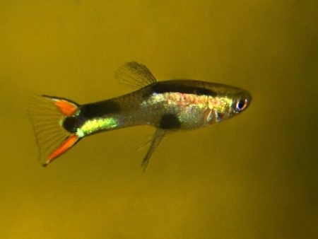 New Black Peacock Dwarf Guppy