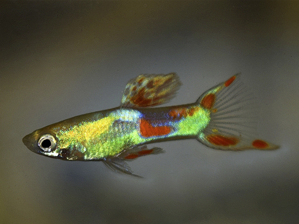 Green Double Sword Dwarf Guppy