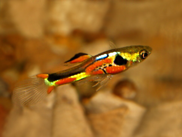Red Chest Dwarf Guppy