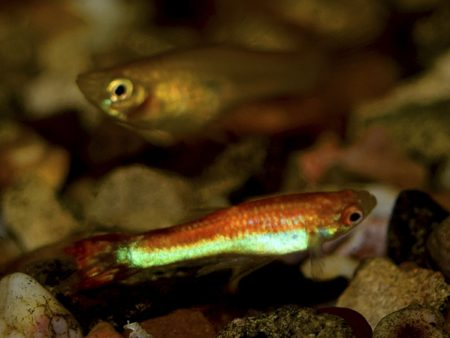 Red Green Dwarf Guppy