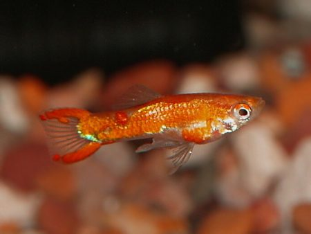 Red Spotless Dwarf Guppy