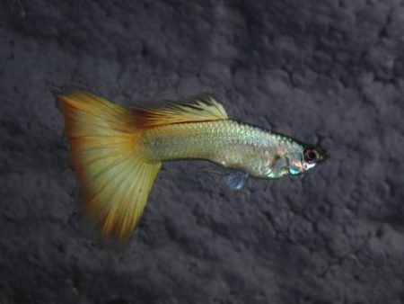 Metallic Blond Guppy Males