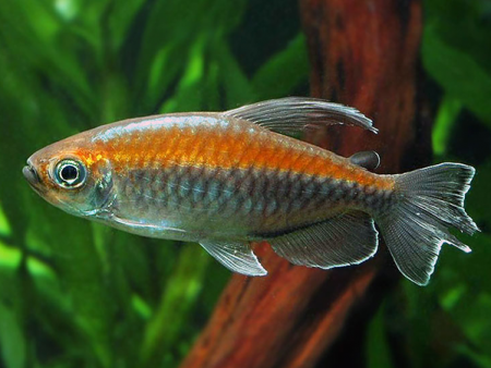 African Characins