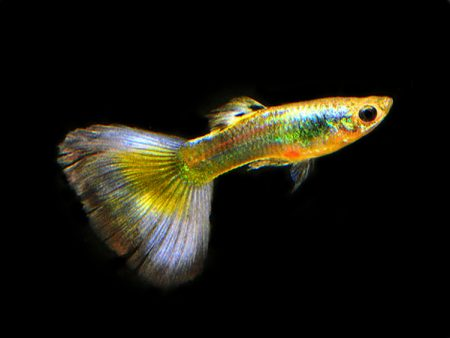 Parrot Guppy Males