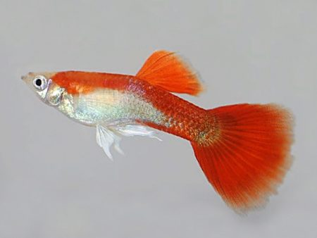 Red Blond Guppy Males