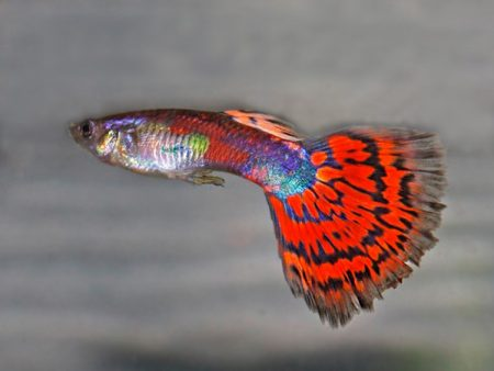 Red Mosaic Tail Guppy Males
