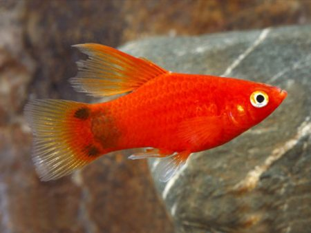 Red Simpson Mickey Mouse Platy