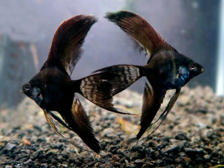 Black Longfin Angelfish