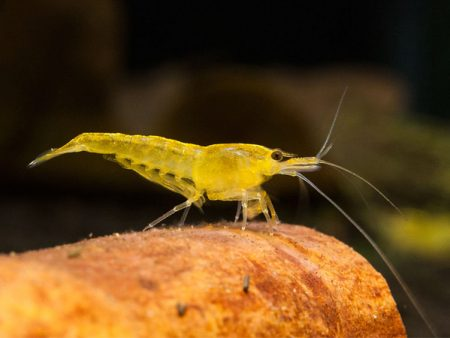 Yellow Cherry Shrimp