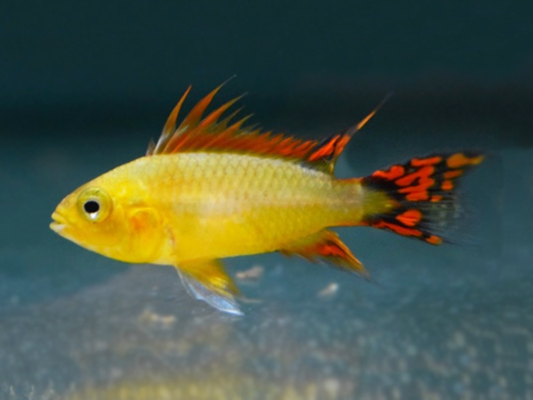 Apistogramma cacatuoides «Gold Red»