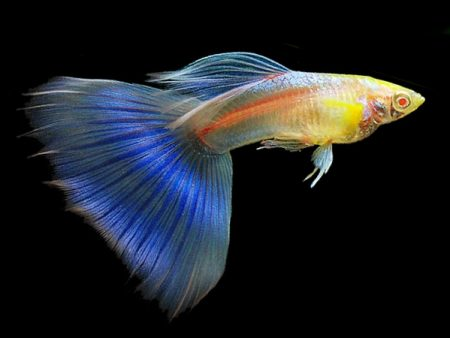Albino Sky Blue Guppy