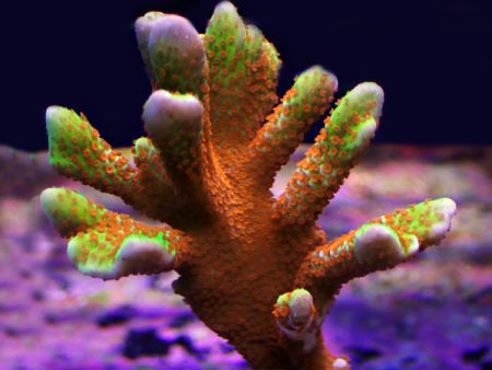 Montipora digitata «Fire Forest» (Frag)