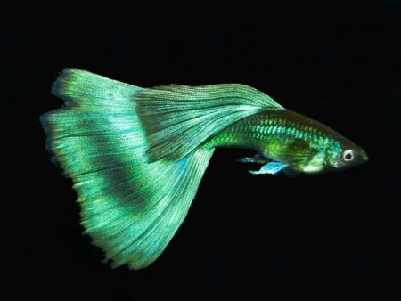 GreenMoscow guppy males