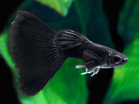 Full Black Big Ear Guppy