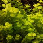 Lysimachia nummularia «Aurea»