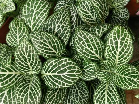 Fittonia albivenis «White»