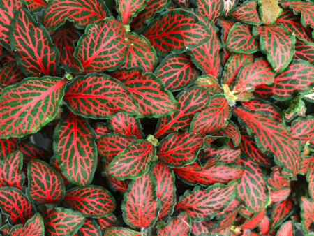 Fittonia albivenis «Red»