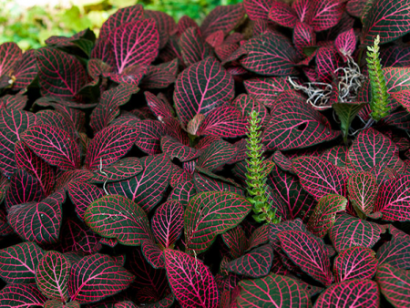 Fittonia albivenis «Forest Red»