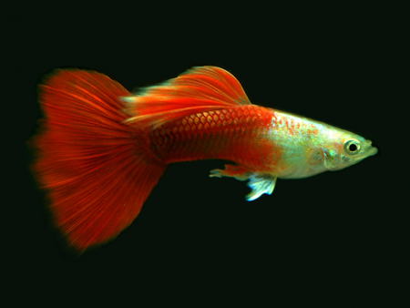 Platinum Red guppy males