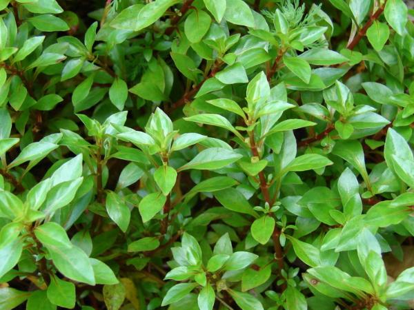 Ludwigia palustris «Green»