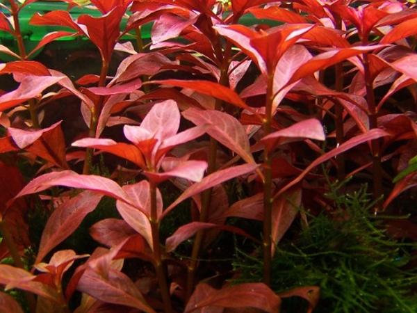 Ludwigia palustris «Red»