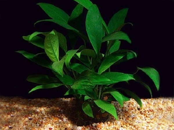 Anubias lanceolata