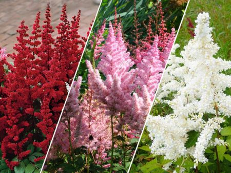 Assorted Astilbe Plants