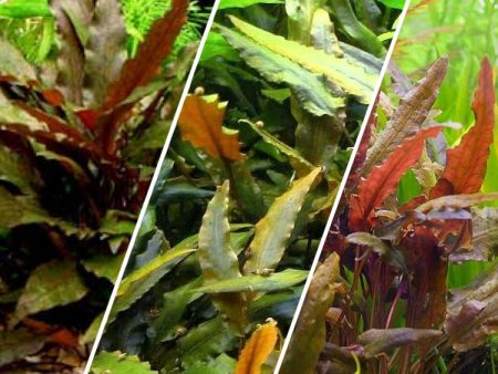 Assorted Cryptocoryne «Brown»
