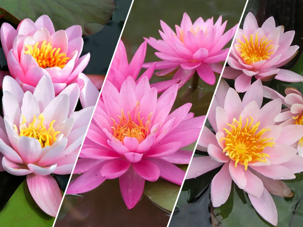 Assorted Pink Lilies