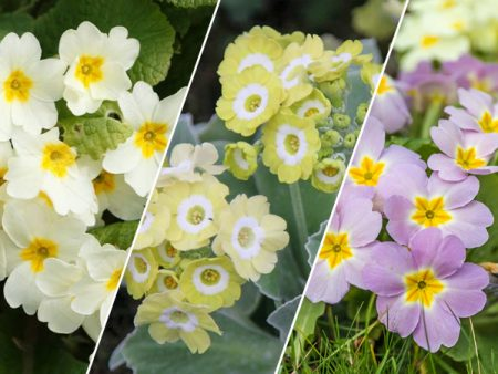 Assorted Primula Plants