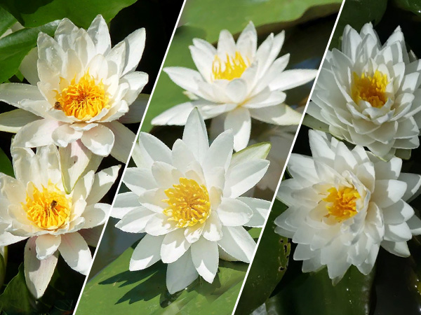 Assorted White Lilies
