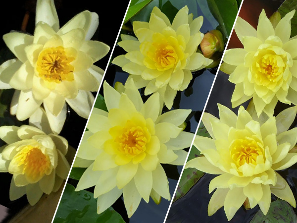 Assorted Yellow Lilies