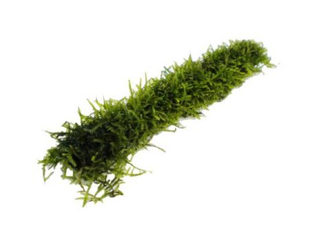 Bamboo Stick With Java Moss