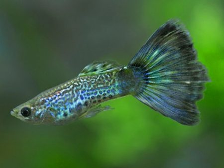 Blue Cobra guppy males