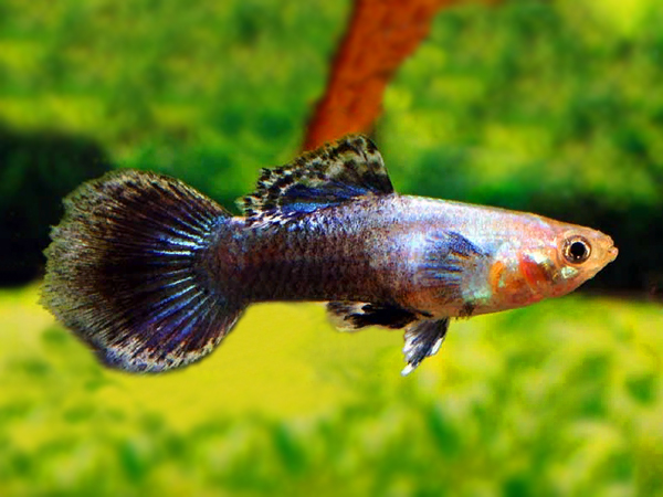 Blue Jeans guppy males
