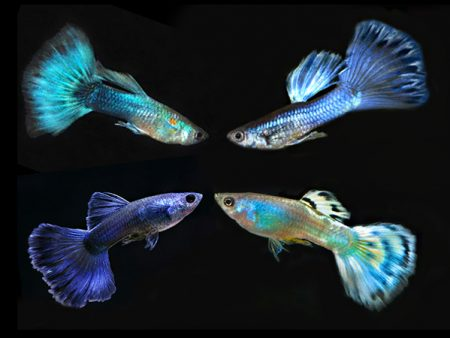 Assorted Blue guppy males