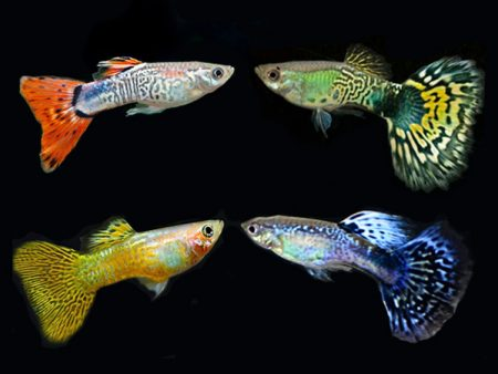 Assorted Cobra guppy males