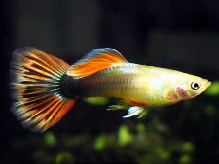 Golden Kumara Sunray guppy males