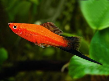 Red WagtailSwordtail