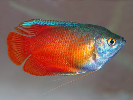 Trichogaster lalius «Blood Red» (Male)