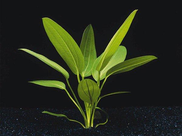 Echinodorus muricatus